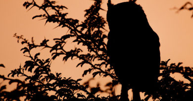 South African Owls, a Guide to the Owl Species Found in South Africa